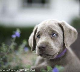 Labrador Retriever Puppy for sale in MERIDIAN, TX, USA