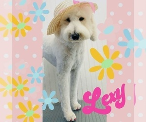 Goldendoodle Puppy for Sale in MORENO VALLEY, California USA