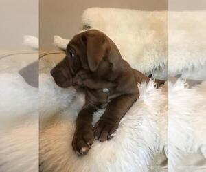 American Bully-Labrador Retriever Mix Puppy for Sale in BLAINE, Washington USA