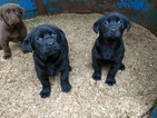 Labrador Retriever Puppy For Sale in MORGANTON, NC, USA