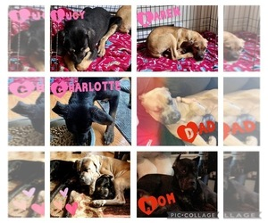 Cane Corso Puppy for sale in COOLBAUGH TOWNSHIP, PA, USA