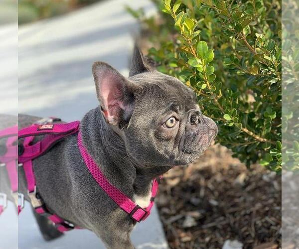 Medium Photo #1 French Bulldog Puppy For Sale in LOS ANGELES, CA, USA
