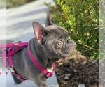 Small Photo #1 French Bulldog Puppy For Sale in LOS ANGELES, CA, USA
