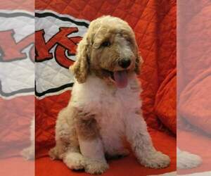 Poodle (Standard) Puppy for Sale in POMONA, Kansas USA