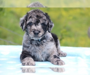 Aussiedoodle-Poodle (Standard) Mix Puppy for sale in UNION CITY, TN, USA