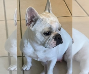 Mother of the French Bulldog puppies born on 01/22/2021