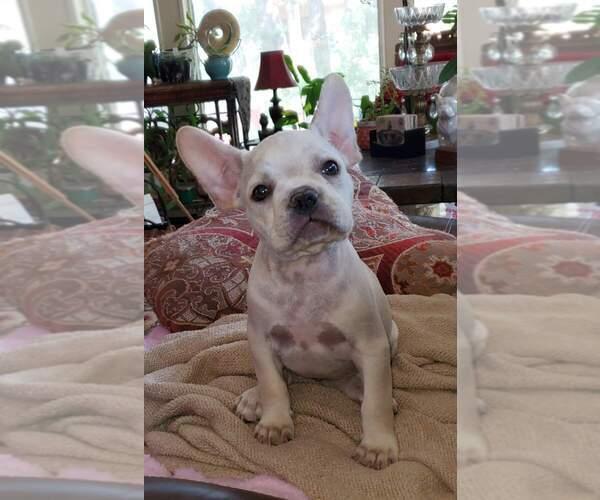 Medium Photo #3 French Bulldog Puppy For Sale in BURLESON, TX, USA