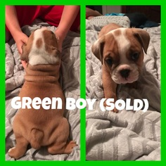 English Bulldogge Puppy For Sale in THOMASVILLE, NC, USA