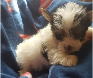 Yorkshire Terrier Puppy for Sale in OTTAWA, Ohio USA