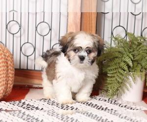 Cava-Tzu Puppy for sale in NAPLES, FL, USA