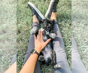 Boxapoint Puppy for Sale in DRIPPING SPGS, Texas USA