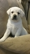 Labrador Retriever Puppy For Sale in HUNTINGDON, PA, USA