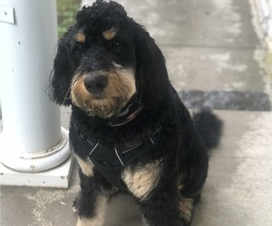Father of the Bernedoodle puppies born on 05/30/2021