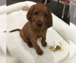 Irish Setter Puppy for sale in KINGWOOD, TX, USA