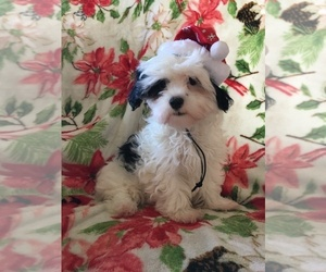 Mal-Shi Puppy for Sale in SARASOTA, Florida USA