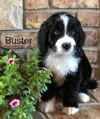 View Ad Bernedoodle Litter Of Puppies For Sale Near Iowa