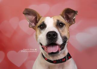 Sable - Shepherd / Terrier / Mixed (short coat) Dog For Adoption