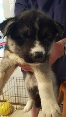 Siberian Husky Puppy For Sale in WHITE SULPHUR SPRINGS, WV, USA