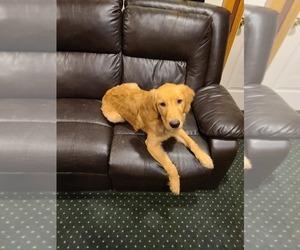 Golden Retriever Puppy for sale in CENTRALIA, WA, USA