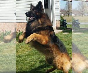 German Shepherd Dog Puppy for sale in HEATHSVILLE, VA, USA
