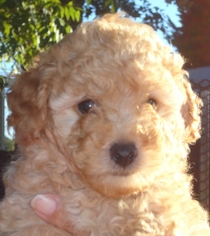 Poodle (Toy) Puppy for sale in Gray Court, SC, USA
