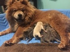Chow Chow Puppy For Sale in Fort Frances, Ontario, Canada