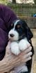 English Springer Spaniel Puppy For Sale in GERMANTOWN, TN, USA