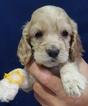 Cocker Spaniel Puppy For Sale in SPRINGFIELD, MA