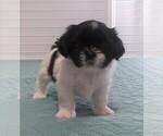 Puppy 3 Shih Tzu