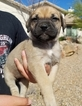 AKC  BULLMASTIFF PUPPIES