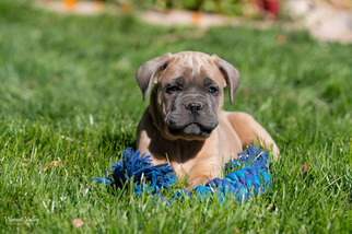 Cane Corso Puppy For Sale in HOOPER, CO, USA