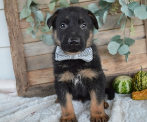 German Shepherd Dog Puppy for sale in HONEY BROOK, PA, USA