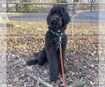 Small Photo #8 Labradoodle Puppy For Sale in PAW PAW, MI, USA