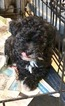 Poodle (Miniature) Puppy For Sale in SPRINGFIELD, MA, USA