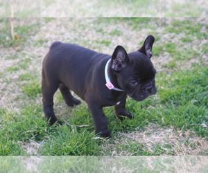 French Bulldog Puppy for Sale in AUBREY, Texas USA