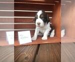 Puppy 10 English Springer Spaniel