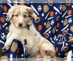 Australian Shepherd Puppy for sale in DELTA, PA, USA