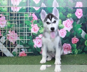 Pomsky Dog for Adoption in MARIETTA, Georgia USA