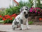 Great Dane Puppy For Sale in MILLERSBURG, Pennsylvania,