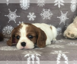 Cavalier King Charles Spaniel Puppy for sale in CLAY, PA, USA