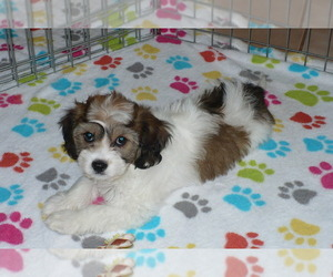Cavachon Dog for Adoption in ORO VALLEY, Arizona USA