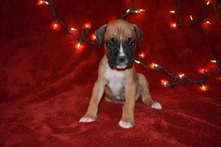 Boxer Puppy For Sale in WESTMINSTER, SC