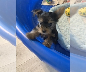 Yorkshire Terrier Puppy for sale in FORT WORTH, TX, USA