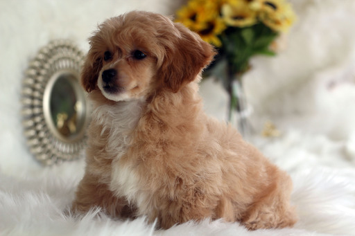 Havanese-Poodle (Toy) Mix puppy