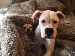 Boxer Puppy For Sale in ALEXANDRIA, VA