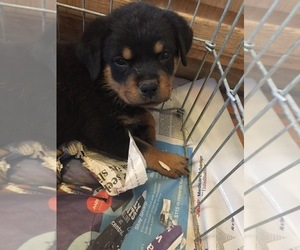 Rottweiler Dog for Adoption in SCOTTSDALE, Arizona USA