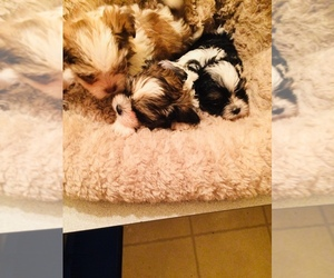 Shih Tzu Puppy for Sale in LEBANON, Oregon USA