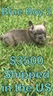 French Bulldog Puppy For Sale in MARION, SC, USA