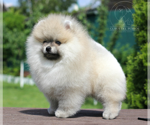 Pomeranian Puppy for sale in Moscow, Moscow, Russia