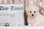 Henry Handsome AKC Male Bichon